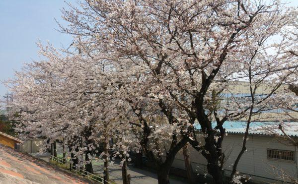 桜の季節には入居者さまとのイベントもあります。
